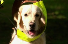 Amazing Dogs Smell Human Seizures – Extraordinary Animals – Earth