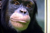 Chimp vs human! – Working Memory test – Extraordinary Animals – Earth