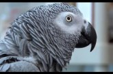 Einstein vs Griffin – The World's Smartest Parrots – Extraordinary Animals – Earth