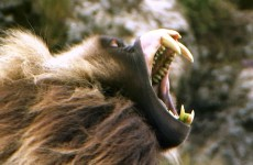 Fearsome Teeth of the Gelada Baboon – Deadly 60 – Ethiopia – Series 3 – BBC