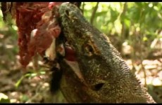 Komodo Dragons Attack! – Deadly 60 – Indonesia – Series 3 – BBC