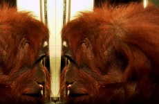 Orangutan recognises himself! – Extraordinary Animals – Earth
