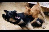 Best Funny Videos – Dogs scared of cats – Funny animal compilation