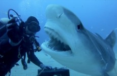 GoPro: Petting A Tiger Shark