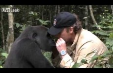 Gorilla reunites with man that saved him